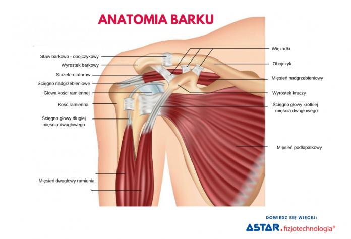 Jaka jest anatomia barku?