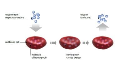 Hemoglobine transportation 400