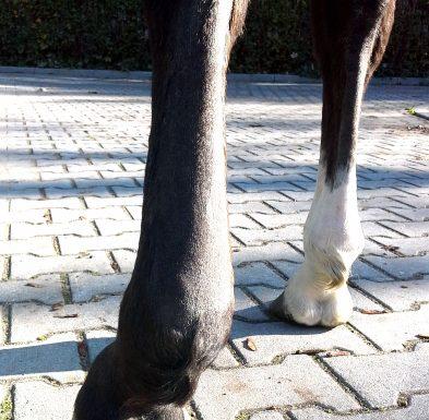 Obrzęknięta kończyna u konia